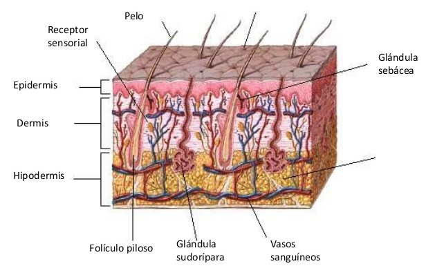 estructura-de-la-piel-farmaconfianza